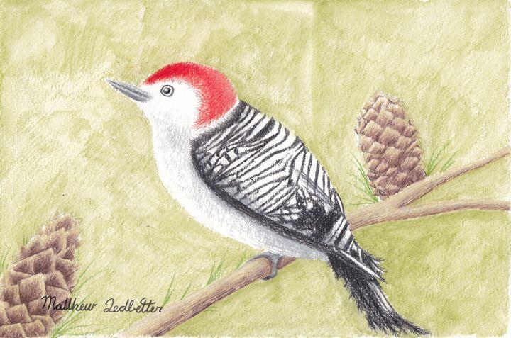red bellied woodpecker on a limb - Matthew Ledbetter