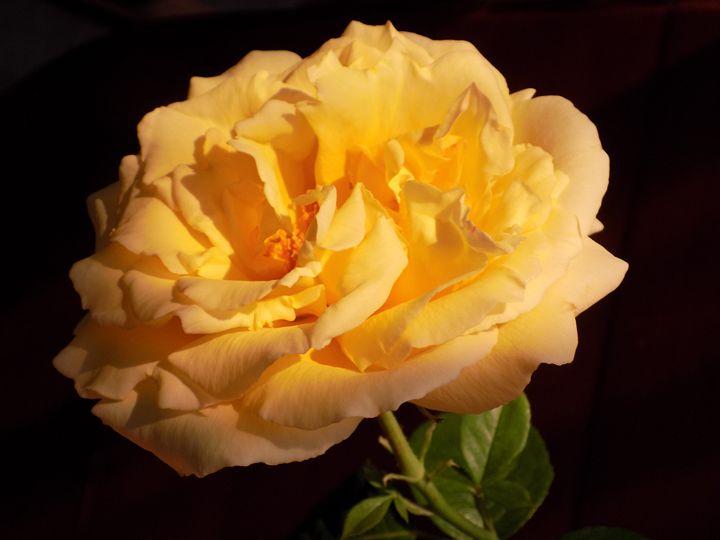 Sunny Rose - Cotting Mélanie
