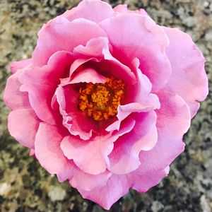 Rose -  Dana.landes