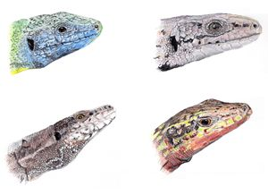 Lizards of North-East Italy