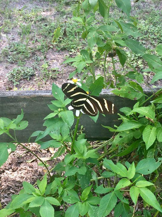 Butterfly - Melissa's Art