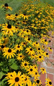 For the Love of Black-eyed Susans