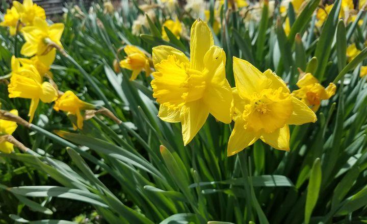 Jumbo Daffodils - Duron Arts