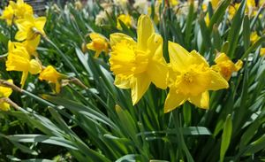Jumbo Daffodils