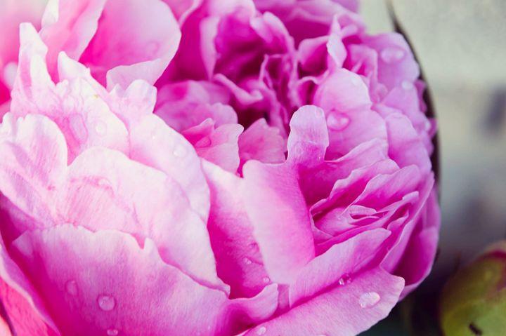 Peony bloom - Sarah Ann Fowler Photography