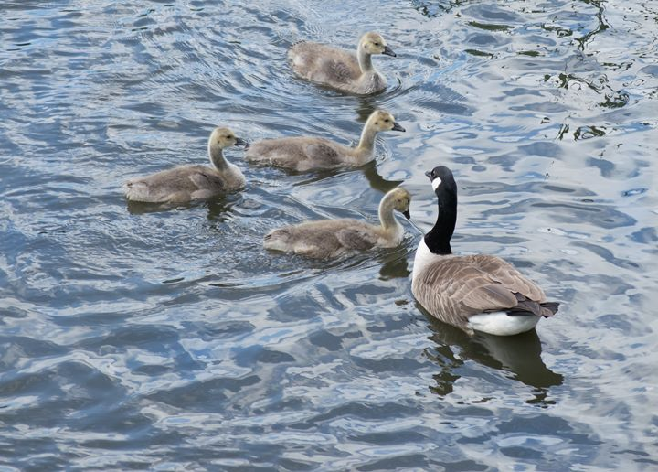 Goose and Goslings - Rocket Cottage Photography
