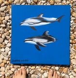 Pacific White Sided Dolphins  This i