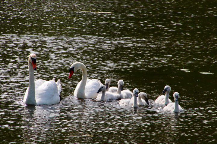 Swan Family - MdAnjos Photography