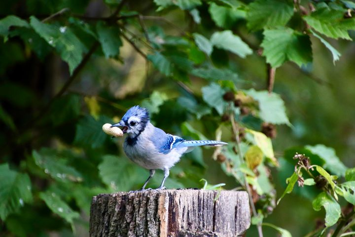 Young Blue Jay - MdAnjos Photography