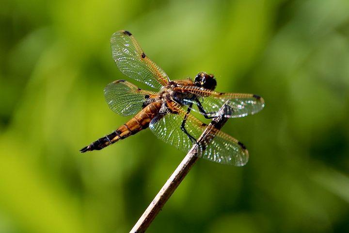 Dragonfly - MdAnjos Photography