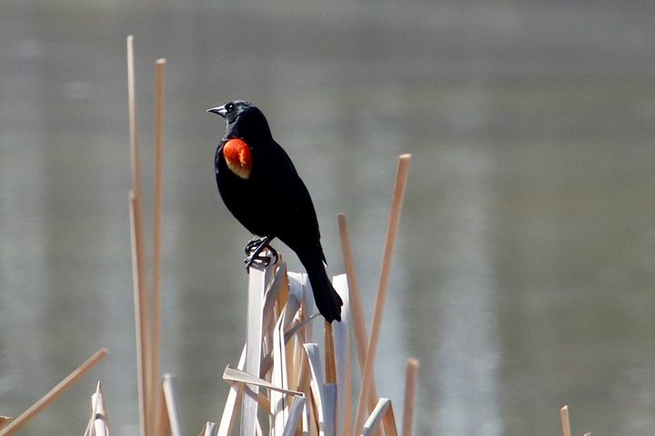 Red-winged Blackbird - MdAnjos Photography