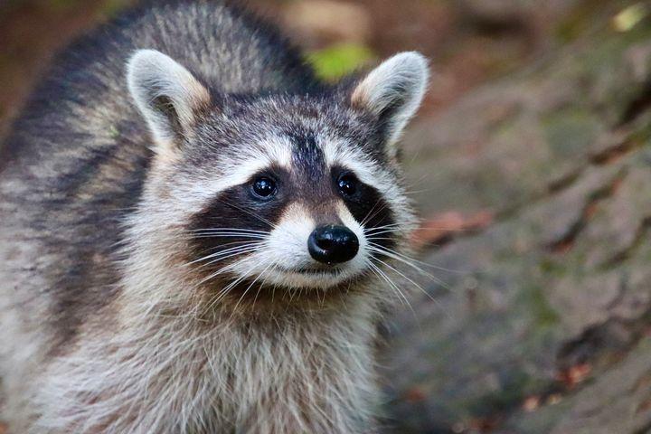 Raccoon close up - MdAnjos Photography