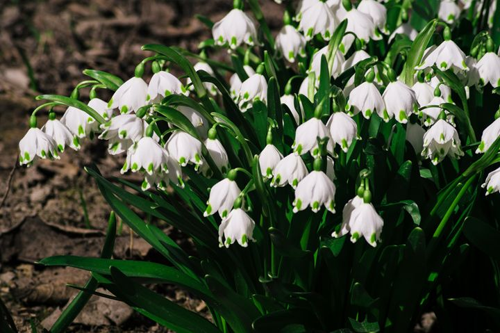 Snowdrops are the first spring flowe - The most