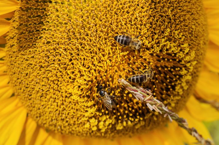Three bee sitting on yellow flower s - The most