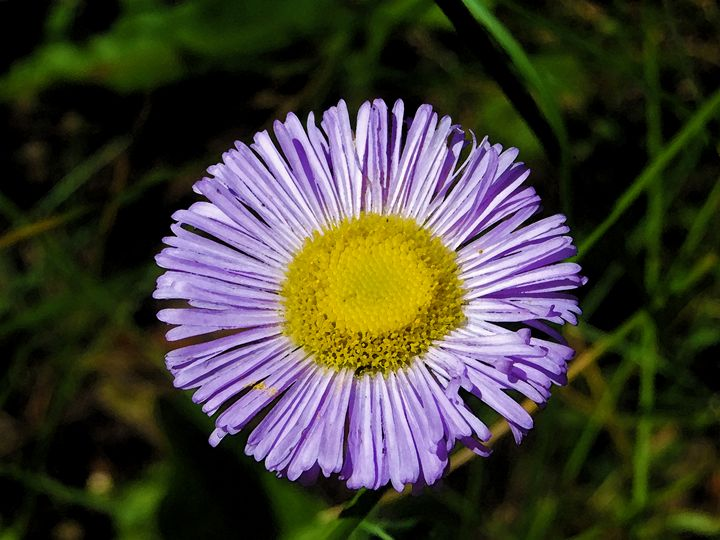 Single Purple Flower - Tony Alexander Photography