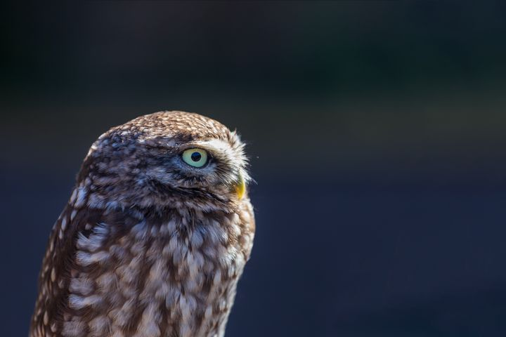 Little Owl - Milton Cogheil Photography
