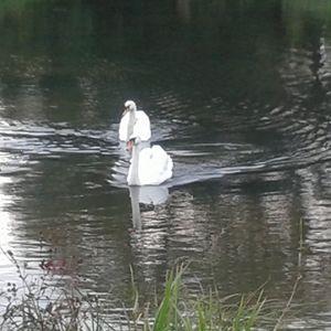 Swan in 2