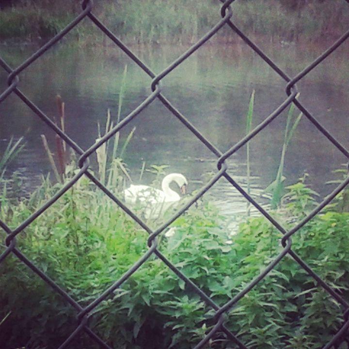 Leda the swan - T.A.