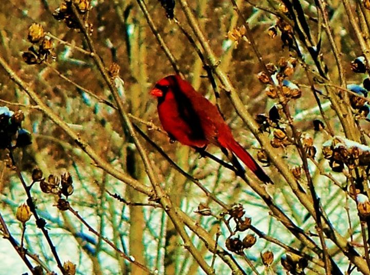 Kentucky winter (Cardinal) - Eric Steele