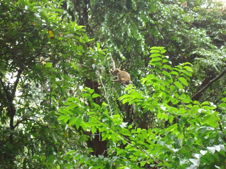 Monkeys in Green Tree - Arunadeepa Lelwala
