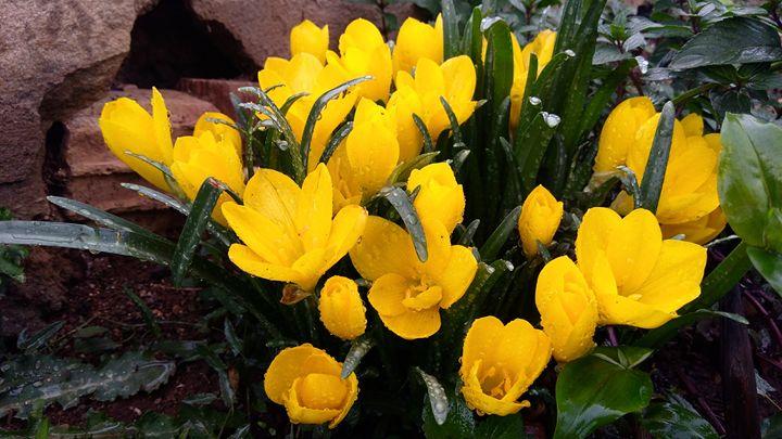 Yellow lilies in the rain - Georgia Jo.