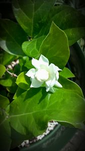 Jasmine-Sampaguita Flower