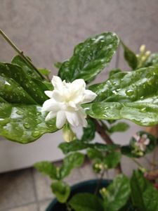 Sampaguita Jasmine full bloom