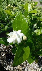 Sampaguita Jasmine young bud flower