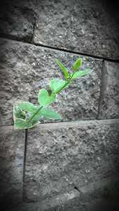 Vinca vine out of concrete - Maryjane's Art Gallery