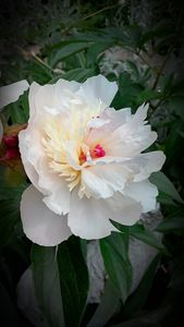 Peony in full bloom