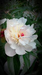 Peony in full bloom - Maryjane's Art Gallery