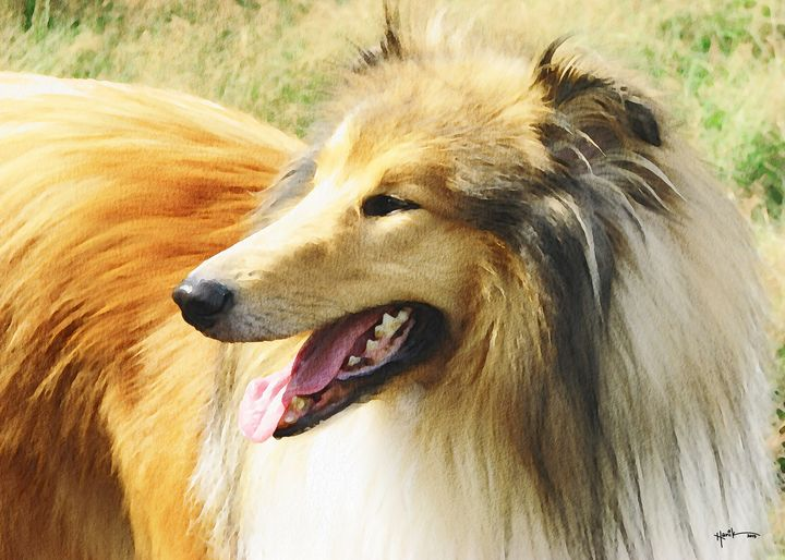 rough collie dog - Angelo