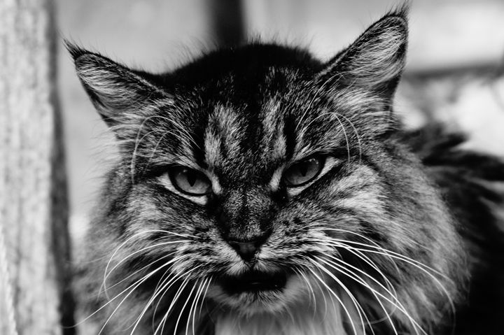 long hair cat black and white - Michael Snow