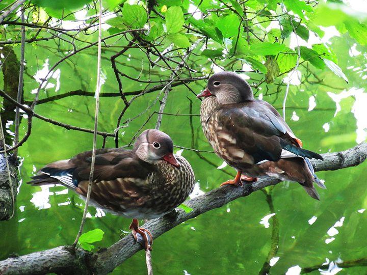 Two ducks on a tree bark - Symplisse Art