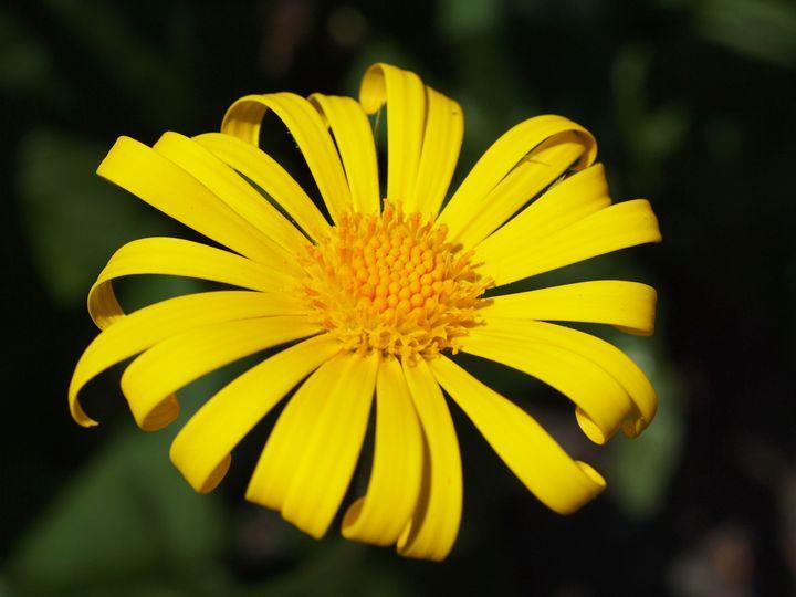 A beautiful yellow daisy - Symplisse Art