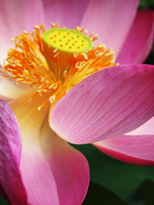 A blooming lotus flower - Symplisse Art