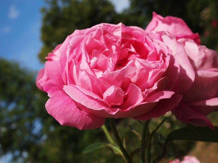 Pink roses - Symplisse Art
