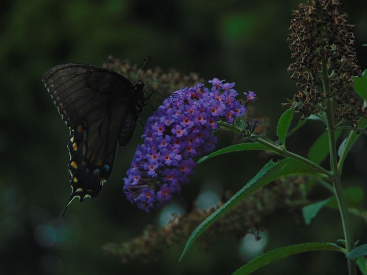 Butterfly on Lilac - Taylor Arndt