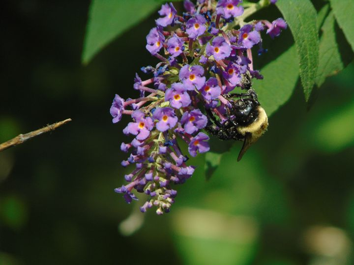 Bee on Lilac - Taylor Arndt