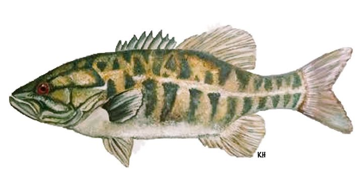 Small mouth bass - Kaitlin Hennessy Art