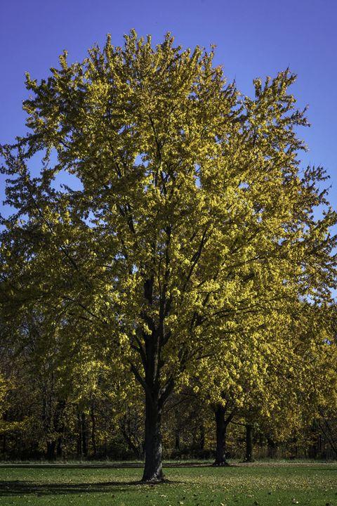 Fall Tree - Zippa Studio