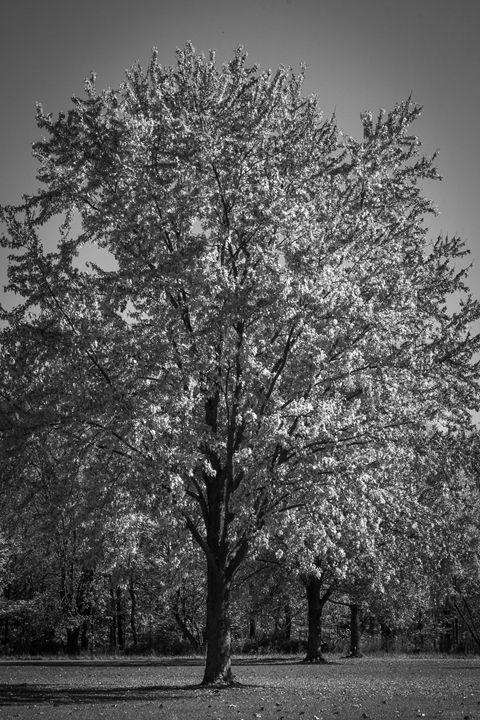 Silver Tree - Zippa Studio