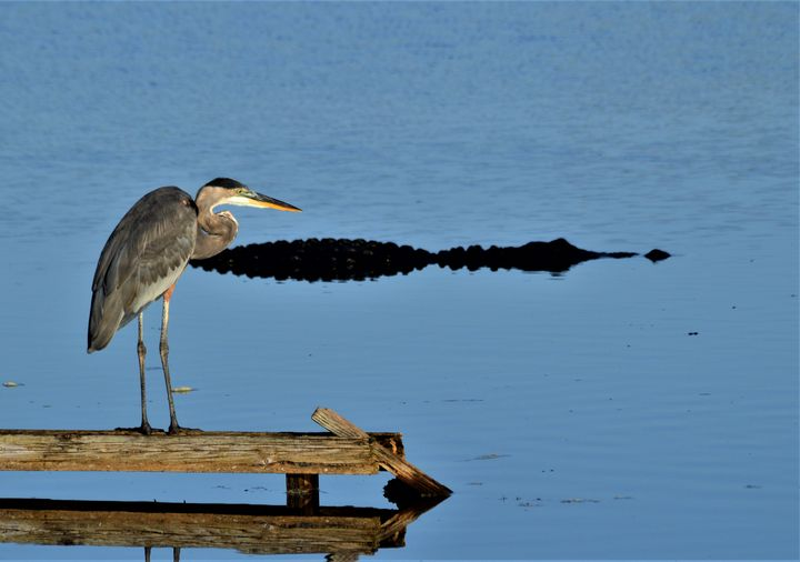 Great Blue Heron and Alligator - Thompson Gallery