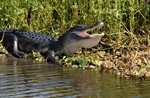 Alligator with an Open Mouth