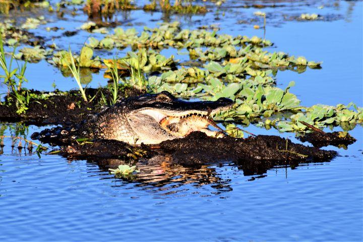 American Alligator Brunch - Thompson Gallery