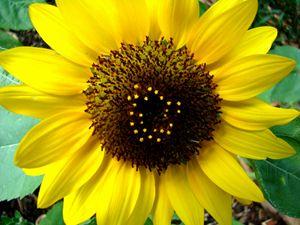 Sunny Florida Sunflower