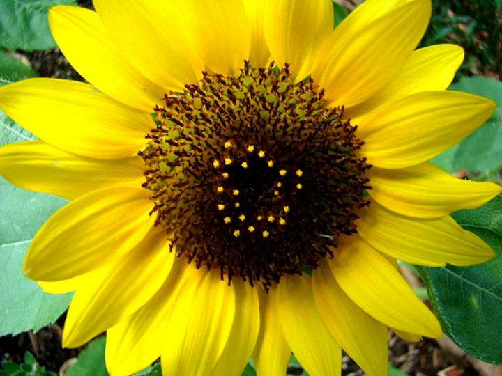 Sunny Florida Sunflower - Marji Stone Photography