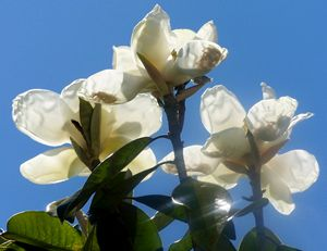 Magnolias soaking up some rays