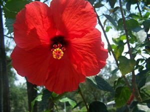 Red Hibiscus looking right at you!
