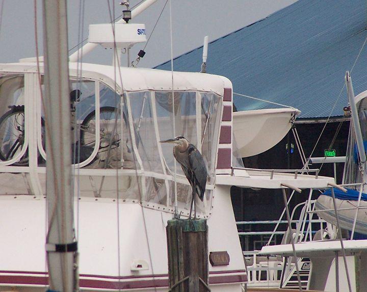 Bird at boat dock - Marji Stone Photography